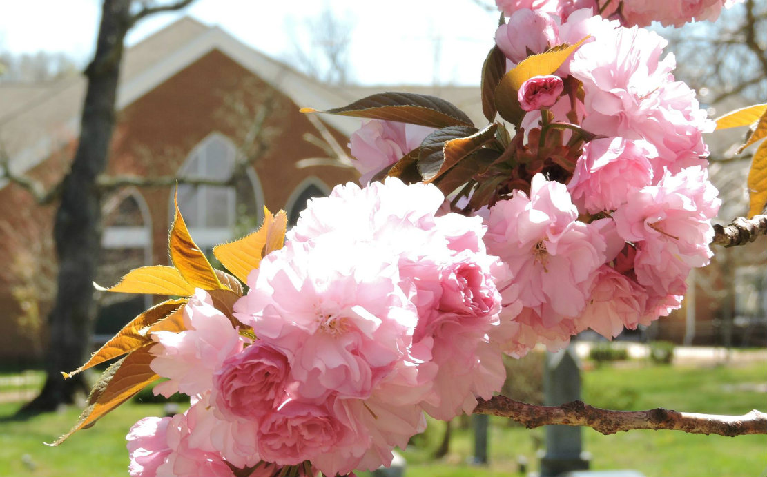 Cherry blossomes for slider website.jpg